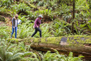 Two students with masks walking on a large trees stump in the redwood forest