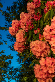 Photo of Rhododendrons in bloom